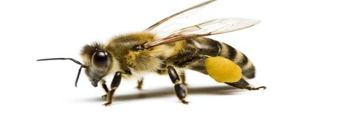 Genetiği Değiştirilmiş Ürünlerin Arılar Üzerine Olası Etkileri